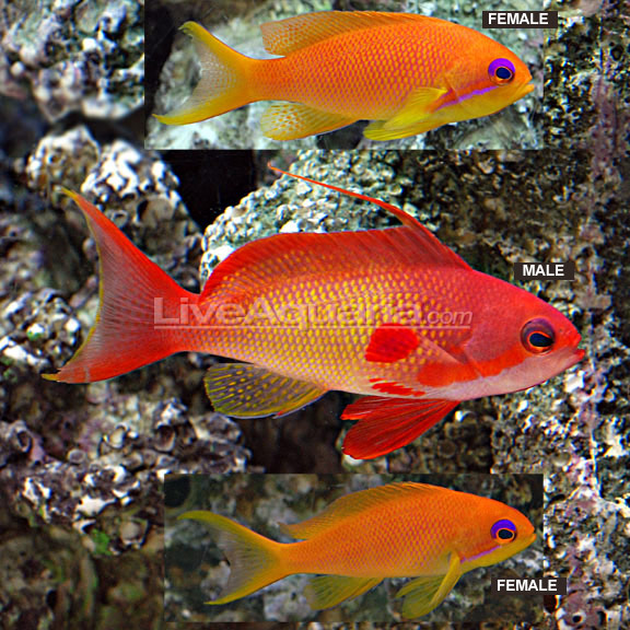 Saltwater aquarium fish for marine aquariums indian ocean for Saltwater fish representative species