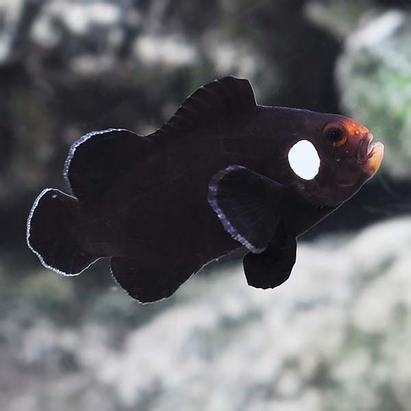 Double Dot Domino Clownfish, Captive-Bred ORA®