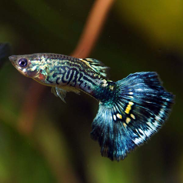 Blue Cobra Guppy, Male