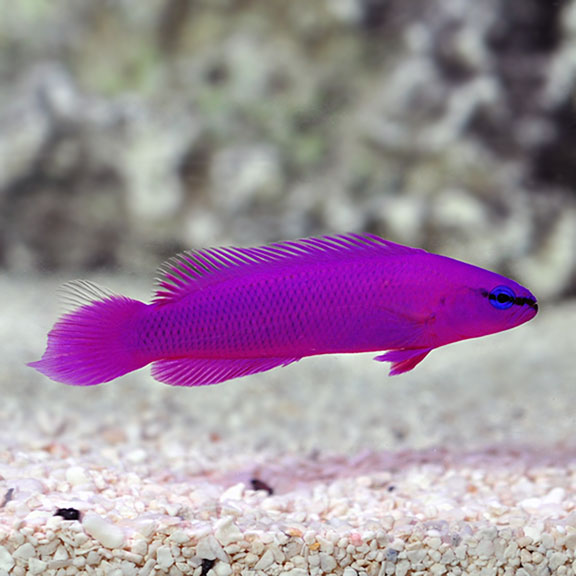 Orchid Dottyback, Captive-Bred ORA®