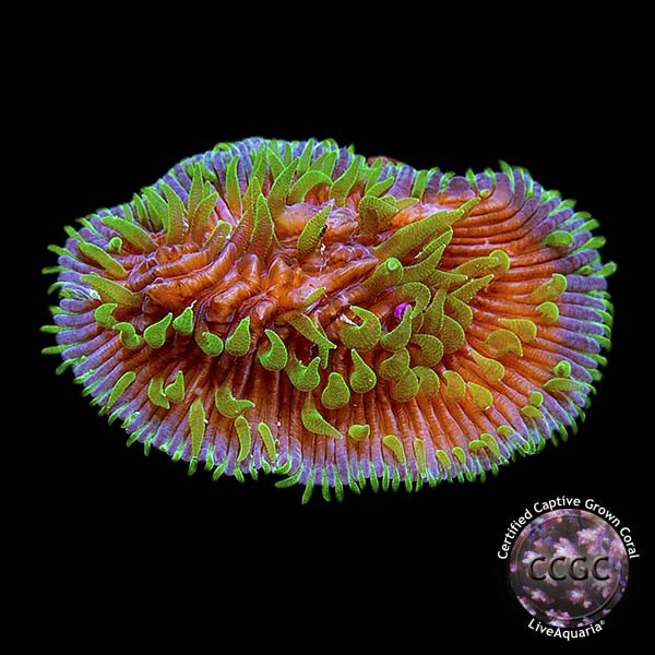 Herpolitha Tongue Coral, Purple & Green, Aquacultured