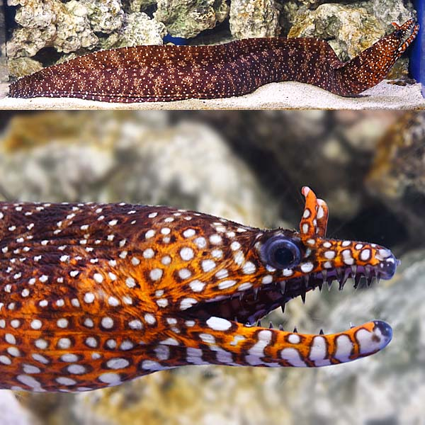 Japanese Dragon Eel