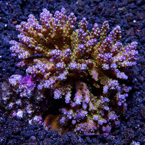 Bright Color Aussie Acropora 3 Pack