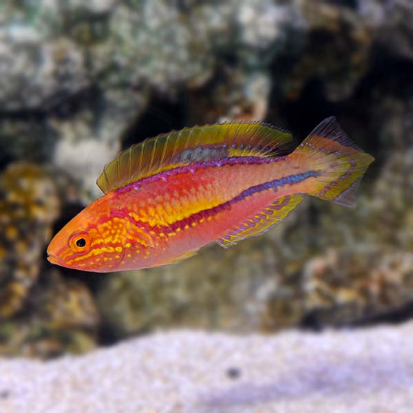 Splendid Pintail Fairy Wrasse