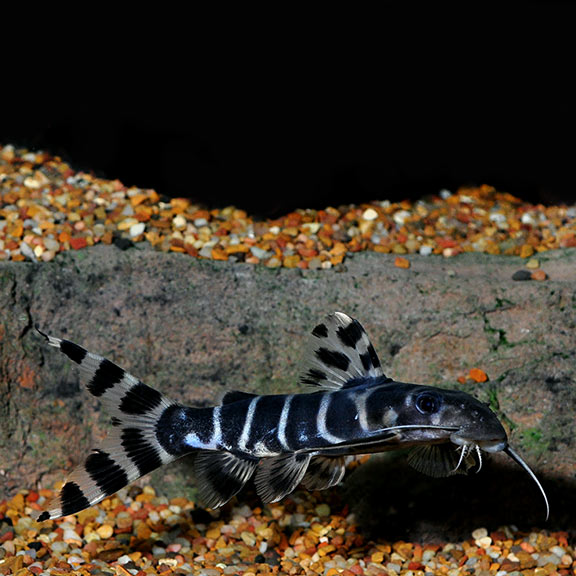 Synodontis Brichardi Catfish
