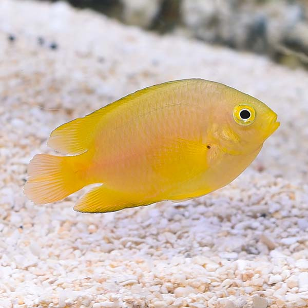 Lemon Damselfish, Captive-Bred