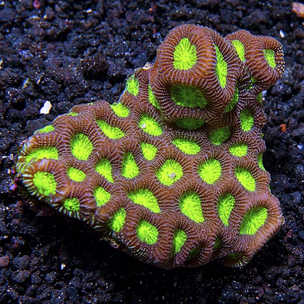 Brain Coral 3 Pack