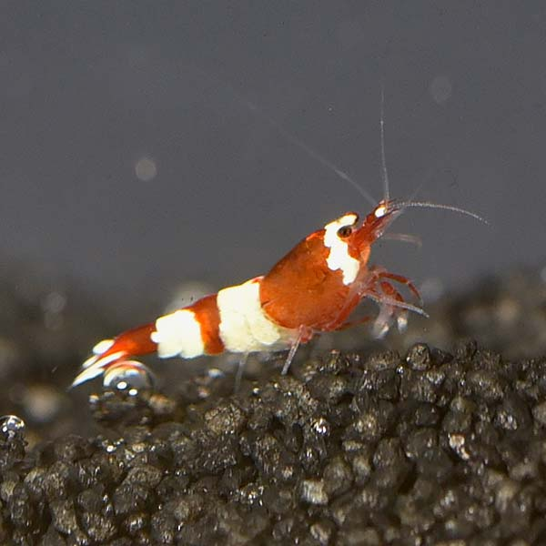 Red Panda Shrimp