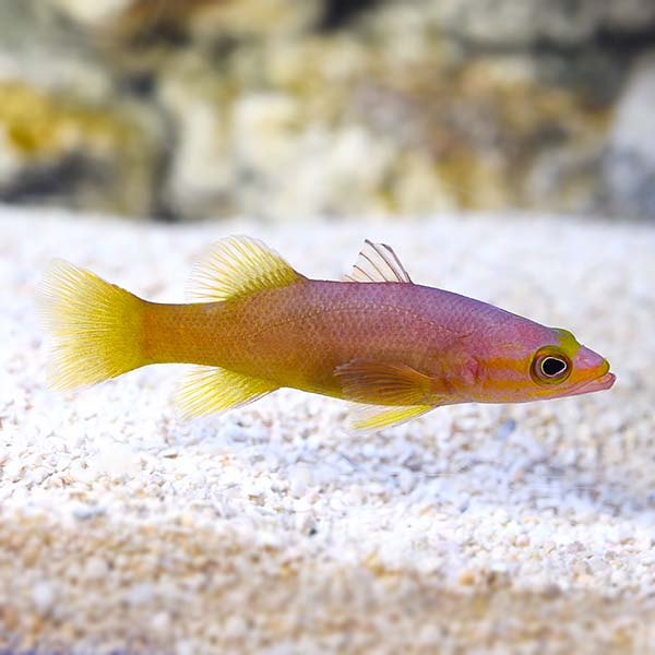 Yellowtail Reef Basslet