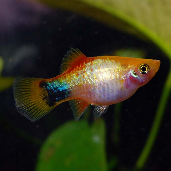 Gold Mickey Mouse Platy
