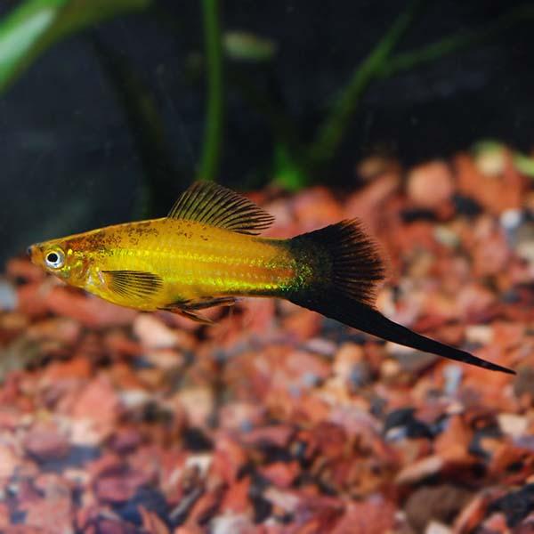 Marigold Wag Swordtail Tropical Fish For Freshwater Aquariums