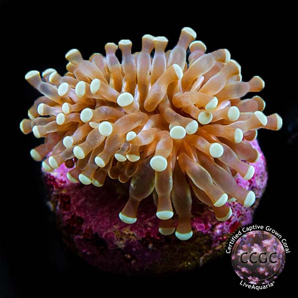 Grape Cristata Coral, Aquacultured