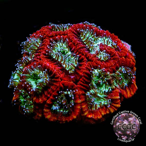 LiveAquaria® CCGC Aquacultured Green & Red Favia Coral