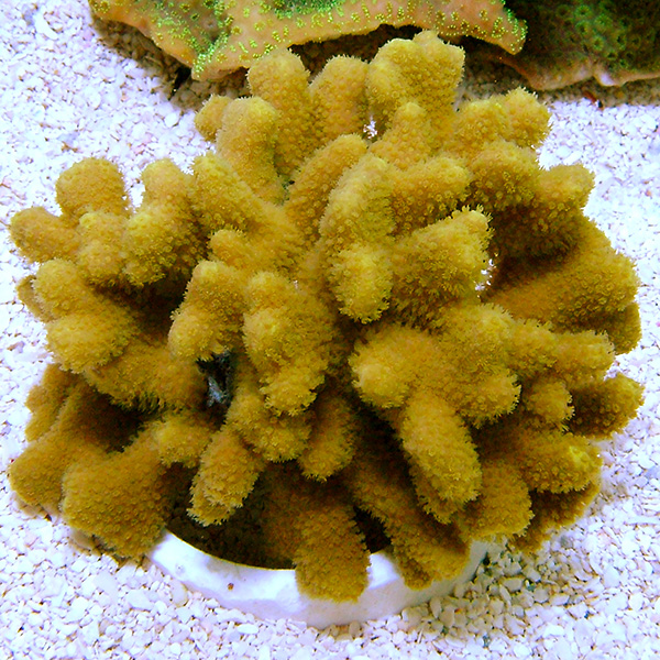 Porites Coral, Yellow