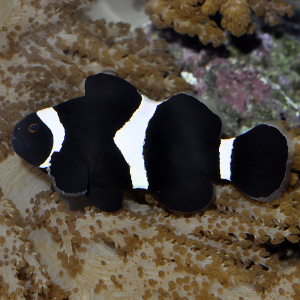 Black & White Ocellaris Clownfish, Captive-Bred