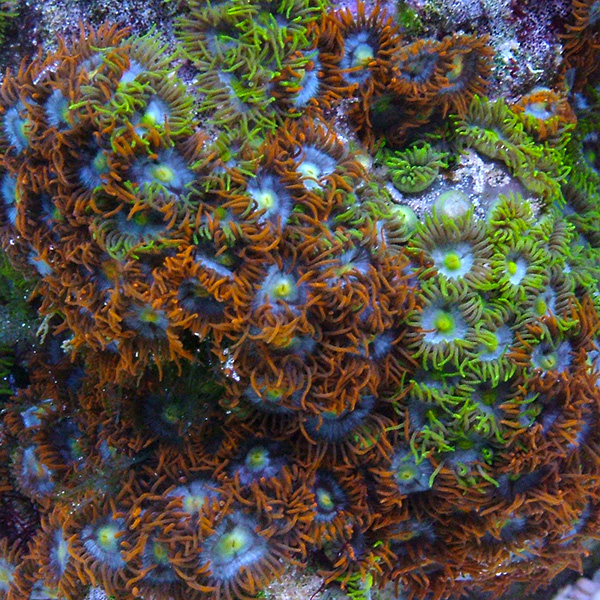 Colony Polyp, Multicolored