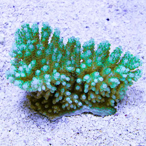 Tabling Acropora Coral, Green