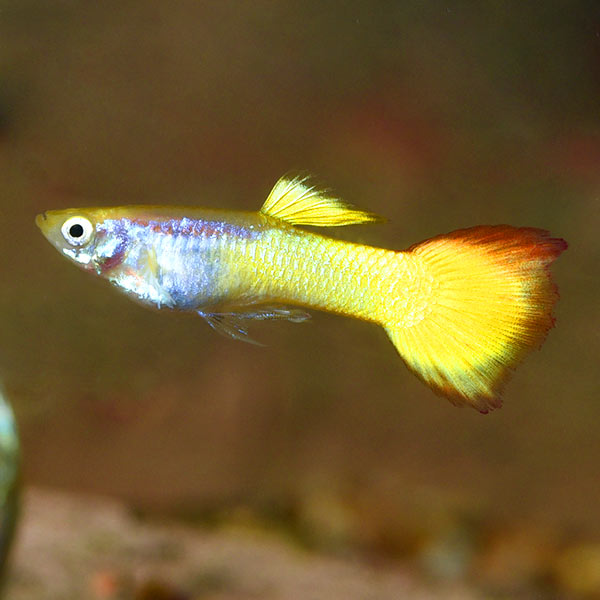 Sunset Guppy, Male