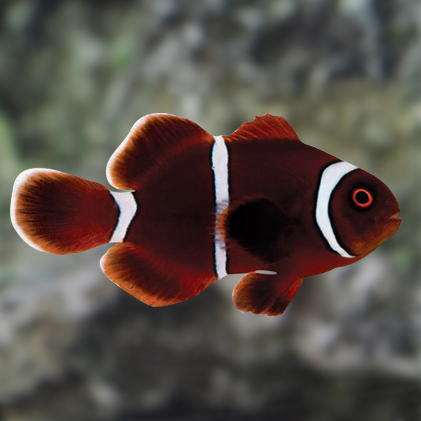 ORA - Gold Stripe Maroon Clownfish, Captive-Bred ORA® - Small
