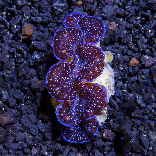 First Grade Colored Maxima Clam, Aquacultured ORA®