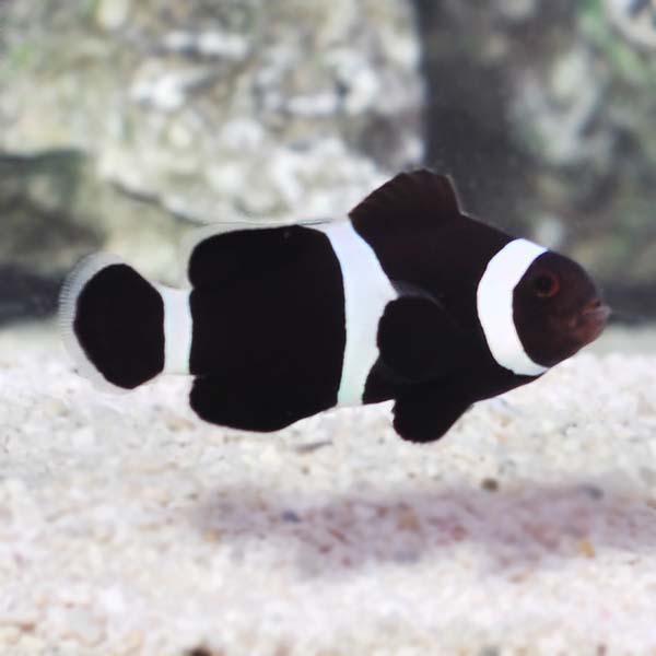 Black White Ocellaris Captive Bred Ora Saltwater Aquarium Fish