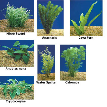 Aquatic plants for freshwater aquariums aquarium plant for Pond plants names