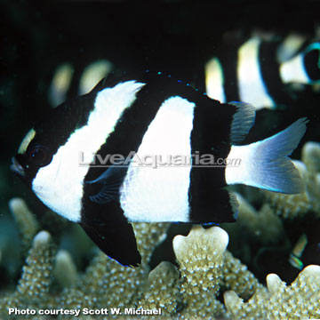 دامسل سه خط (three stripe damsel fish )