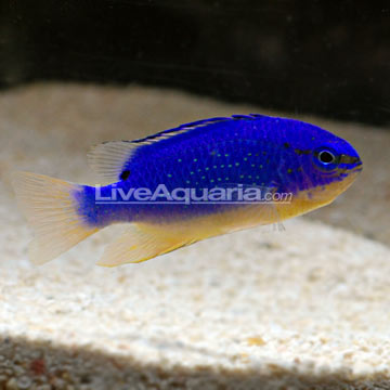 دامسل شیطان آبی فیجی ( fiji blue devil damsel fish )