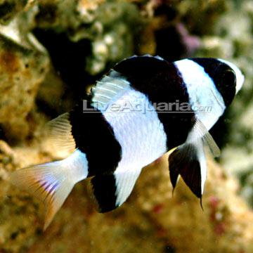 دامسل تاکسیدو ( tuxedo damsel fish )