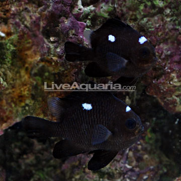 دامسل دومینو سه خال ( three spot domino damsel fish )
