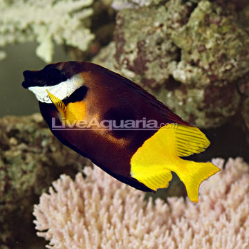 Bicolor foxface exotics fish loricula flame pygmy for Fox face fish