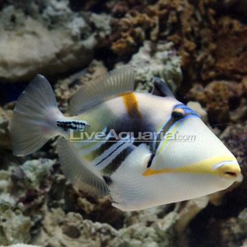 ماشه ماهی هومو ( humu triggerfish )