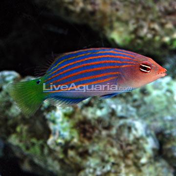 Saltwater Aquarium Fish For Marine Aquariums Six Line