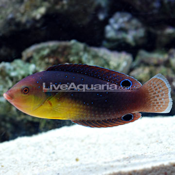 Yellowchest Twist Wrasse EXPERT ONLY