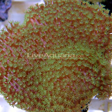 Green Polyp Leather - Aquacultured, ORA®