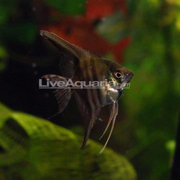 ... Fish for Freshwater Aquariums: Half Black Freshwate