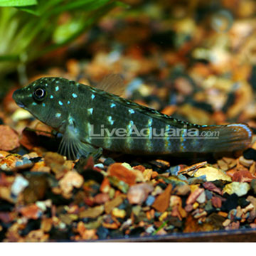 Jeweled Goby Cichlid