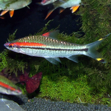 Tropical fish for freshwater aquariums denison barb for Black and white striped fish freshwater