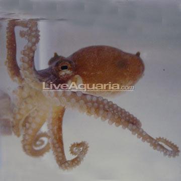 اختاپوس ( octopus )