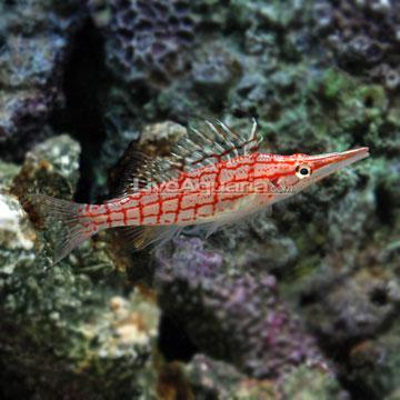 شاهین ماهی پوزه بلند ( longnose hawkfish )