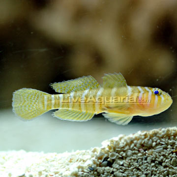 Yellow Priolepis Goby