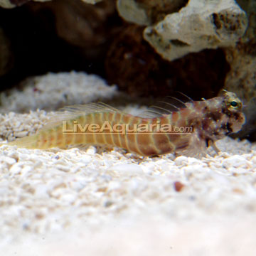 Segmented Sailfin Blenny