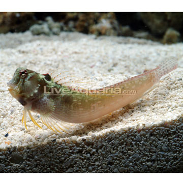 One Spot Blenny