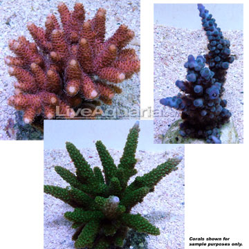 Maricultured Acropora Pack