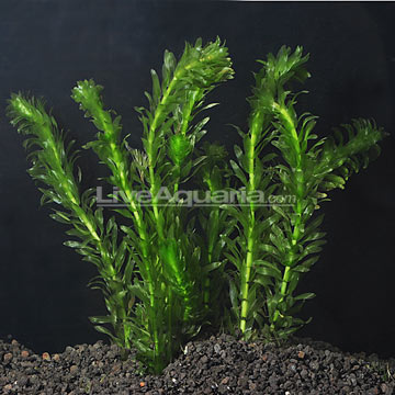 Aquatic Plants for Freshwater Aquariums: Anacharis