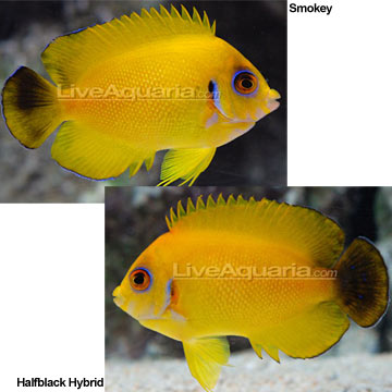 Lemonpeel Hybrid Angelfish