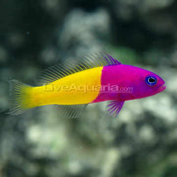 Blue Eye Royal Dottyback
