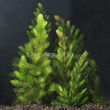Aquarium Plants Turning Brown