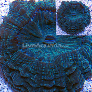 Saltwater aquarium corals for marine reef aquariums doughnut coral
