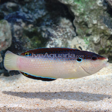Black-backed Wrasse